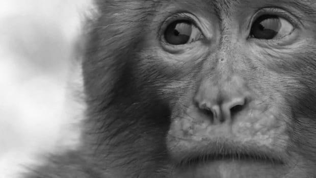 https---images.saymedia-content.com-.image-MTc0NTY3NjcwNjc3NTE0MTg1-endangered-species-barbary-ape
