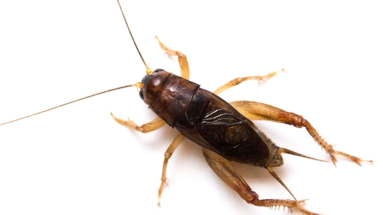 Nothing but crickets? Scientists: US-claimed 'sonic attack' actually was insects
