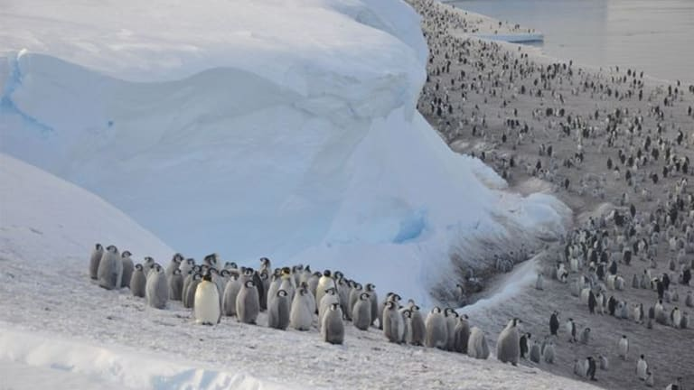 Sea Ice Loss: World's 2nd Largest Penguin Colony Disappears - Wiped Out