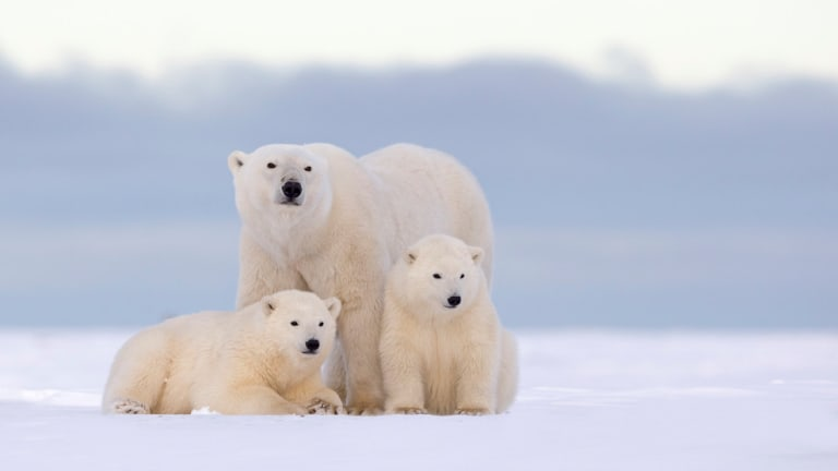 Government Scientists Alerted Trump His Oil Plan Would Threaten Polar Bears