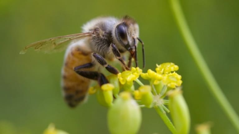 USDA Suspends Tracking Honey Bees As States Get Approval For New Pesticide